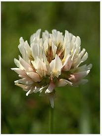 Fleur de tre fle blanc